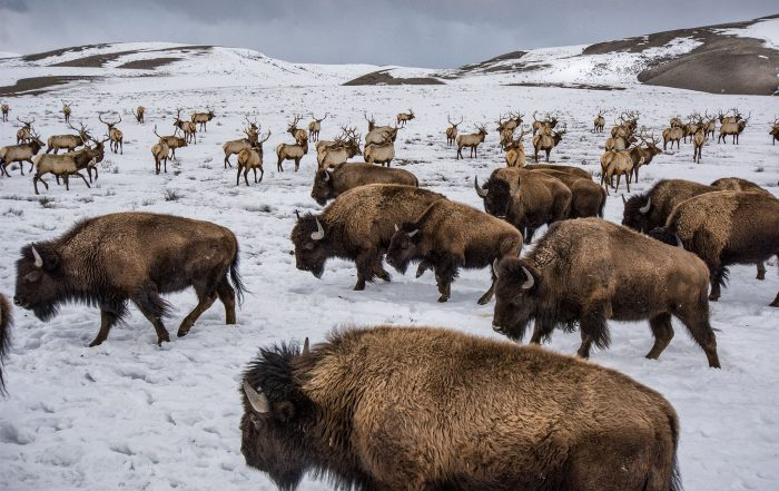 Bison and elk share winter ranges in the National Elk Refuge near Jackson, Wyoming.